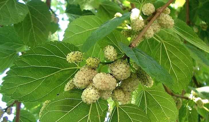 Белые ягоды шелковицы