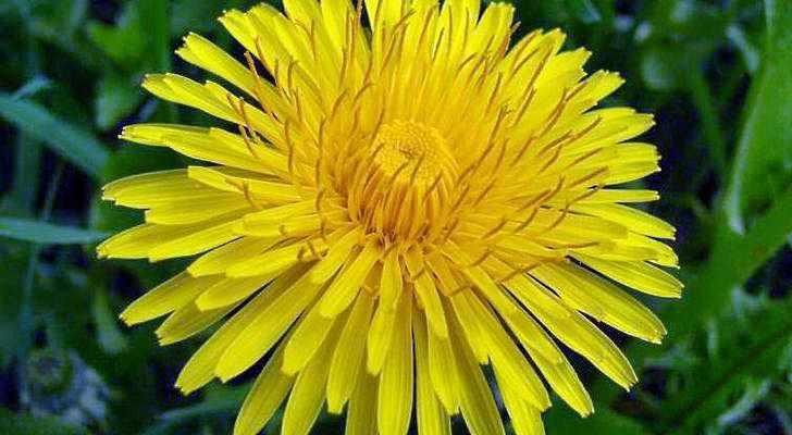 Настойка из цветков одуванчика