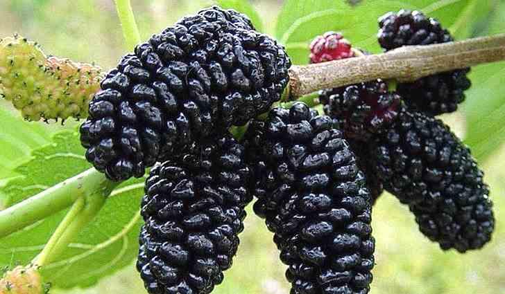 Полезные свойства ягод шелковицы