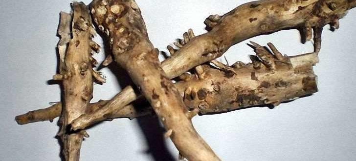 Корень подсолнуха - полезные свойства и противопоказания