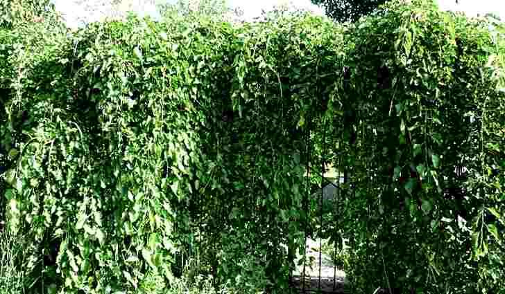 Ботаническая характеристика - плакучая шелковица
