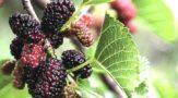 Шелковица, полезные свойства и противопоказания