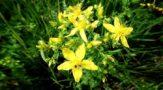 Трава зверобой фото лечебные свойства