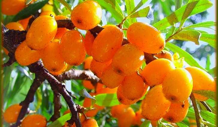 Крупноплодная облепиха богата витамином A