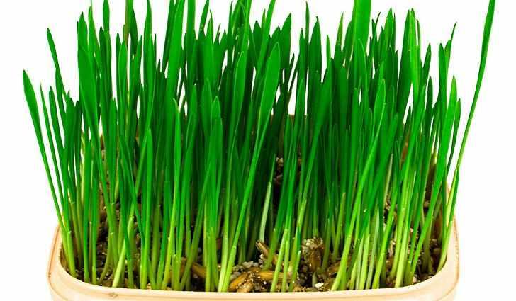 Овсяная трава