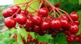 Лечебные свойства калины красной и противопоказания