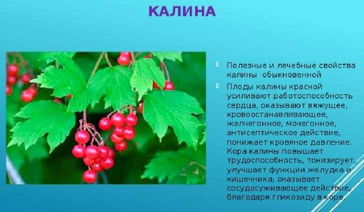 Калина - полезные свойства и противопоказания
