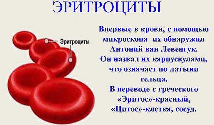 Производство красных кровяных телец