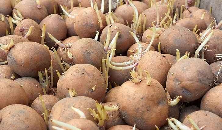 Закапать картошку от бородавок - Energosro.ru