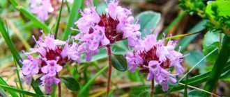 Чабрец - магическое растение. Полезные свойсва и противопоказания, фото