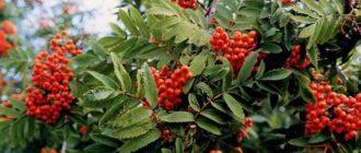 Красная рябина полезные свойства и противопоказания, рецепты