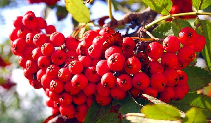 Красная рябина - полезные свойства и противопоказания, рецепты
