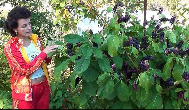 Выращивание лаконоса