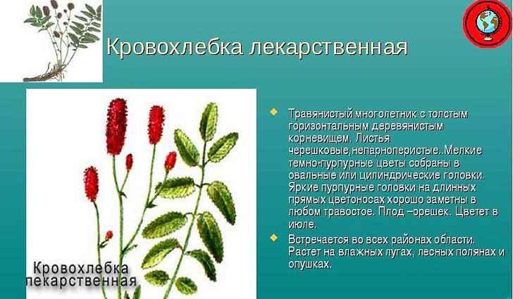 Ботаническое описание кровохлебки