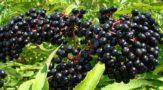 Бузина черная - лечебные свойства, описание, фото