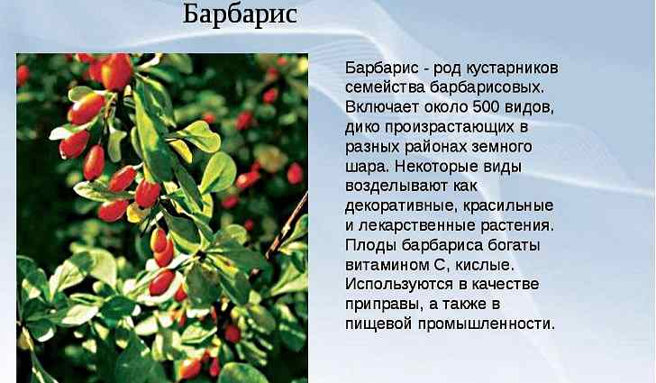 Лечебные свойства барбариса обыкновенного