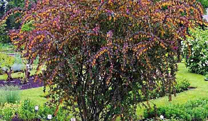 Выращивание барбариса обыкновенного