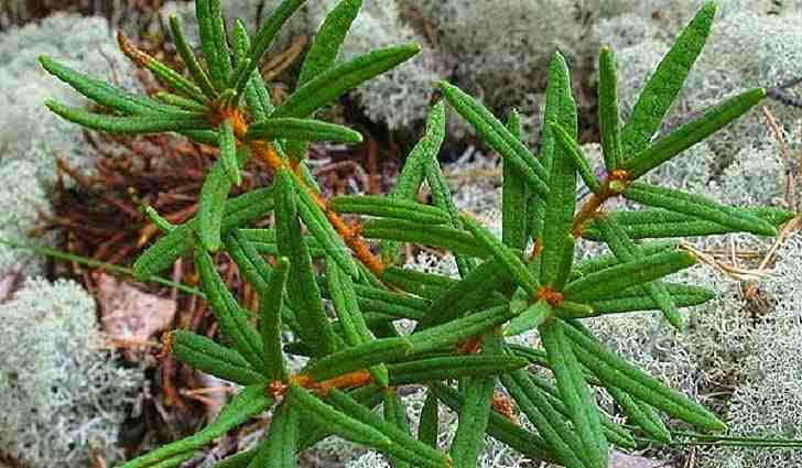 Багульник болотный: лечебные свойства и противопоказания применение