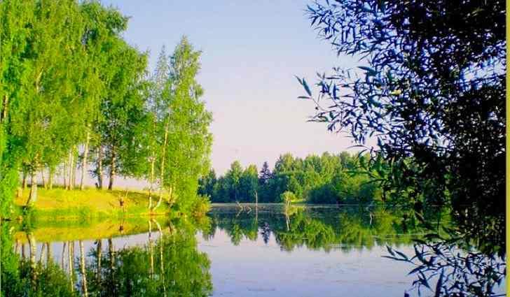 Береза повислая - русское дерево