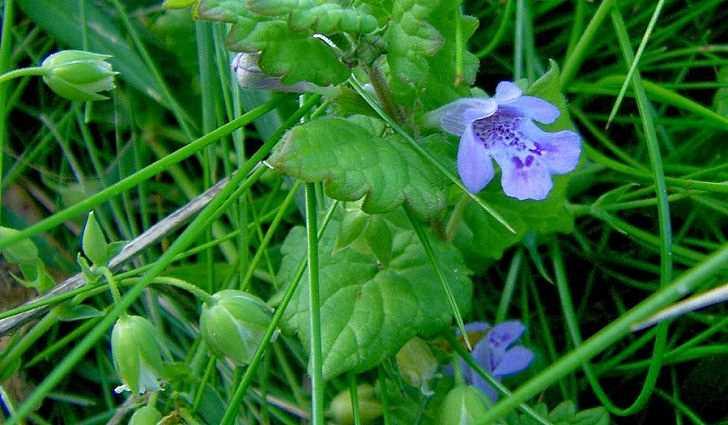 Ботаническое описание будры плющевидной