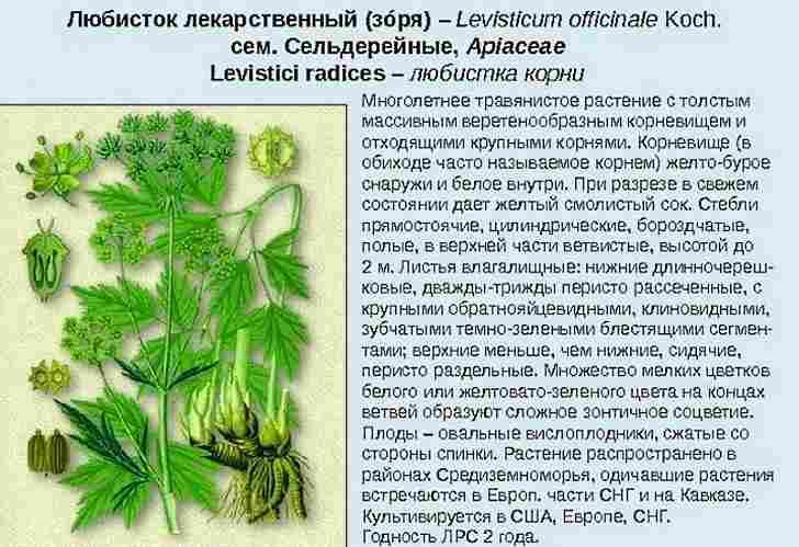 Ботаническое описание любистка