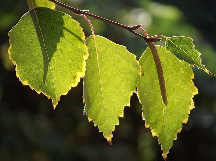 Лечение отеков листьями березы