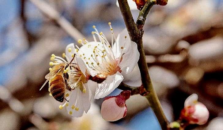 Лечебные свойства листьев, цветков и коры сливы