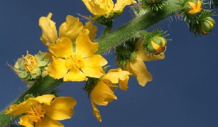 Ботаническое описание репешка