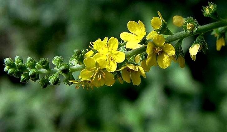 Трава репешок: что лечит, инструкция к применению