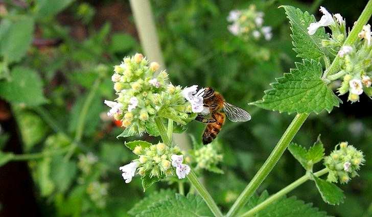 Ботаническое описание мелиссы лекарственной