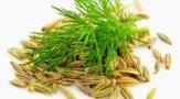 Фенхель, полезные свойства семян, применение в народной медицине