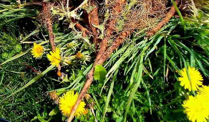 Ботаническое описание одуванчика