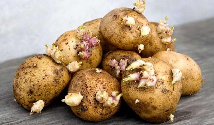 Картофель от глаукомы