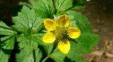 Гравилат - лечебная трава, которая лечит ожоги и гнойные долго незаживающие раны