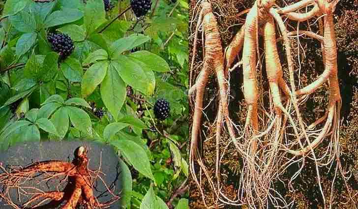 Химический состав корней элеутерококка
