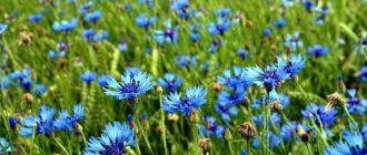 Синий василек: полезные свойства, применение, рецепты лечения, фото