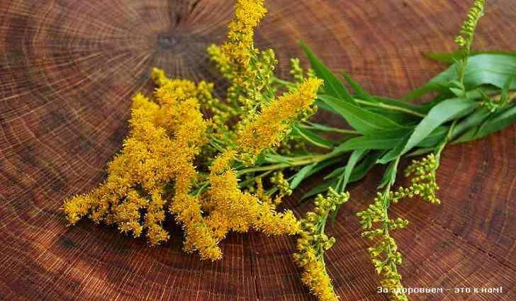 Золотая розга: лечебные свойства, противопоказания