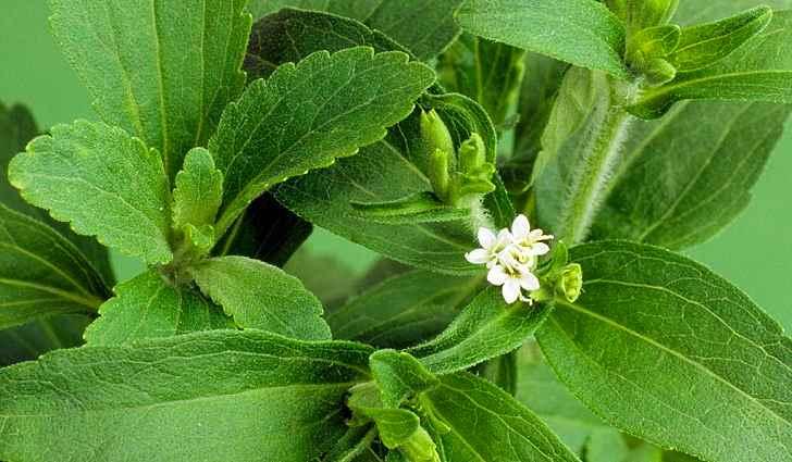 Ботаническое описание стевии
