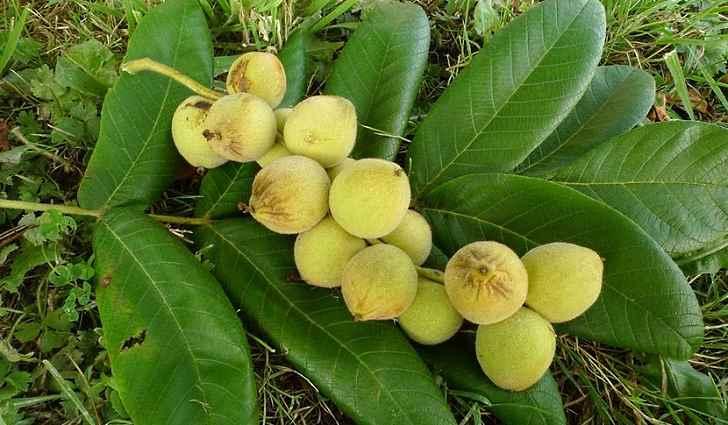 У маньчжурского ореха противоопухолевые свойства