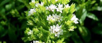 Трава стевия: как применять её лечебные свойства для профилактики сахарного диабета