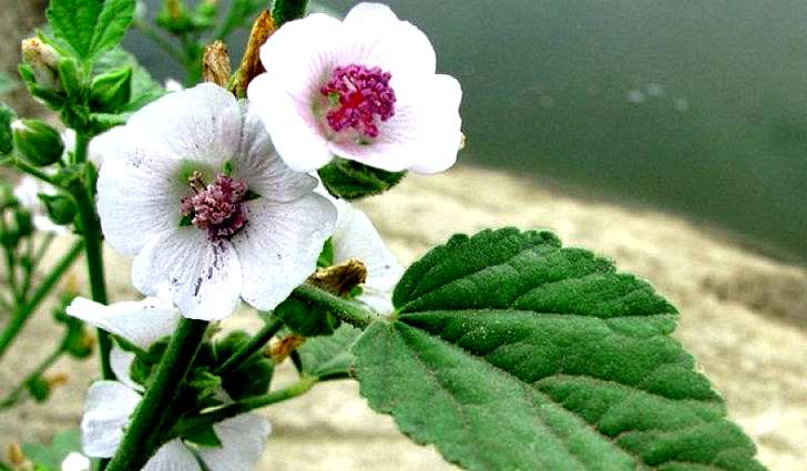 Ботаническое описание алтея лекарственного
