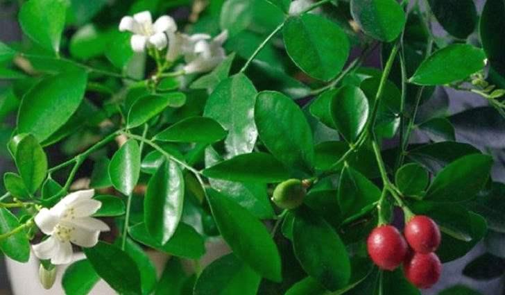 Ботаническое описание муррайи, фото