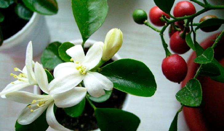 Цветки и ягоды муррайи