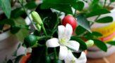Муррайя - комнатный цветок