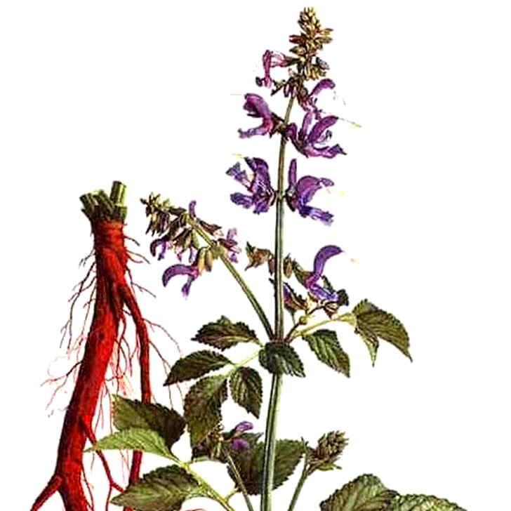 Ботаническое описание шалфея лекарственного