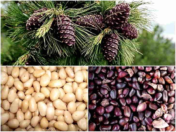 Рецепт с кедровыми орешками для лечения бронхита