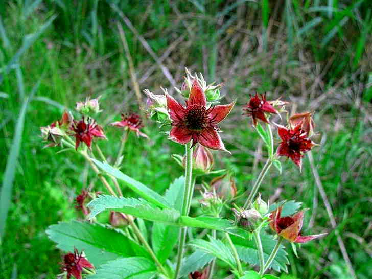 Сабельник болотный: полезные свойства и применение