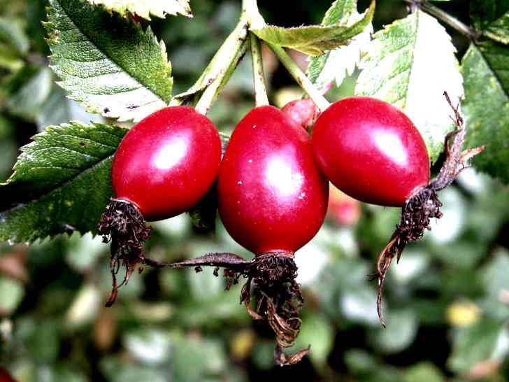 Плоды шиповника входят в рецепт лечения фиброза легких