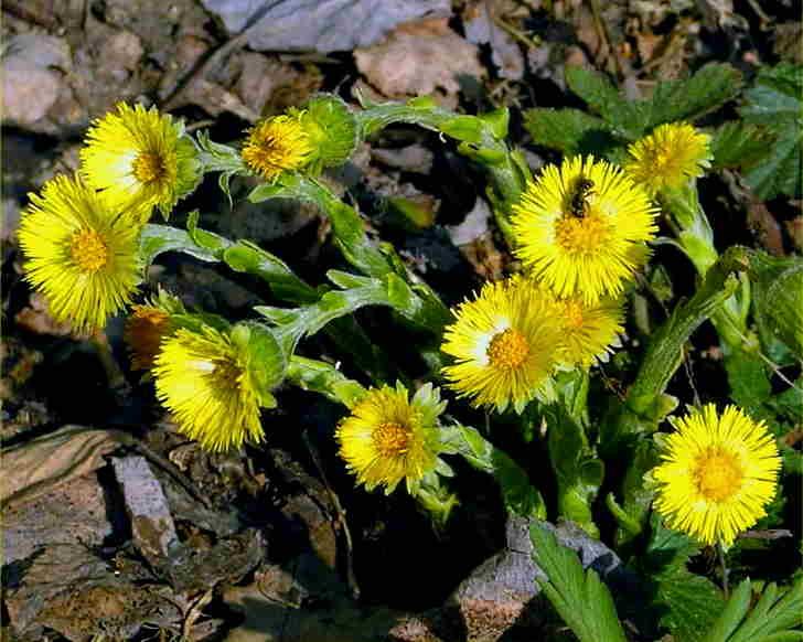 Ботаническое описание мать мачехи
