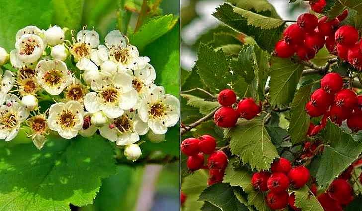 Цветы и плоды боярышника в рецепте от тахикардии
